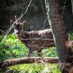chevreuil en forêt du Trait
