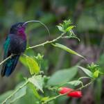 colibri madere
